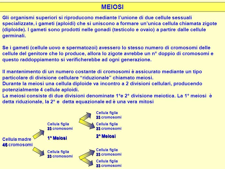 crossingover 1°meiosi 2° meiosi Meiosi I (divisione riduzionale) I membri di ogni coppia di cromosomi omologhi prima si uniscono*, poi si separano e vengono distribuiti in nuclei distinti.
