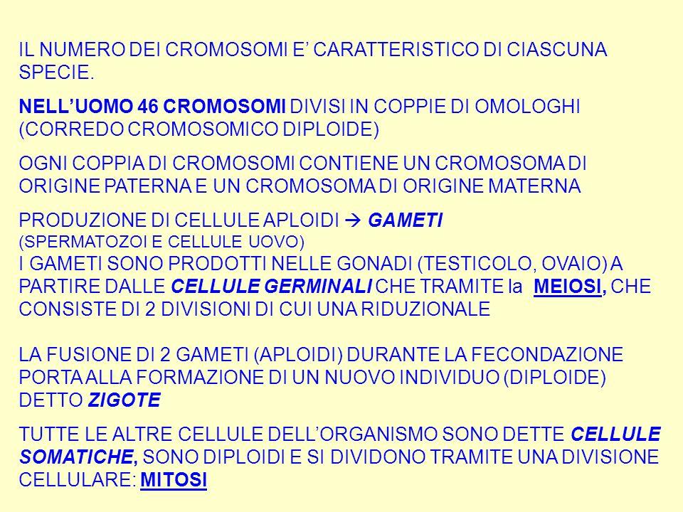 IL NUMERO DEI CROMOSOMI E CARATTERISTICO DI CIASCUNA SPECIE. NELLUOMO 46 CROMOSOMI DIVISI IN COPPIE DI OMOLOGHI (CORREDO CROMOSOMICO DIPLOIDE) OGNI CO