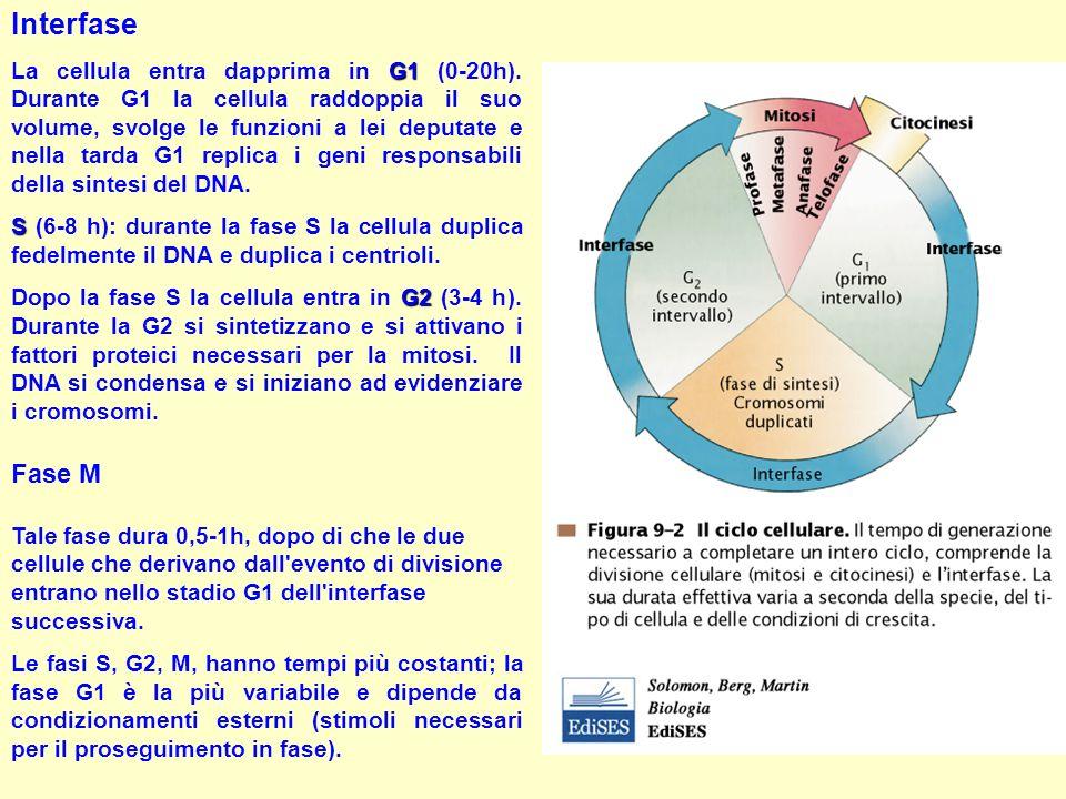 Interfase G1 La cellula entra dapprima in G1 (0-20h). Durante G1 la cellula raddoppia il suo volume, svolge le funzioni a lei deputate e nella tarda G