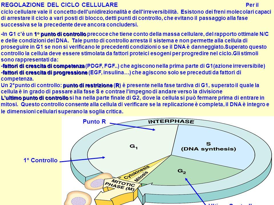 REGOLAZIONE DEL CICLO CELLULARE Per il ciclo cellulare vale il concetto dell'unidirezionalità e dell'irreversibilità. Esistono dei freni molecolari ca