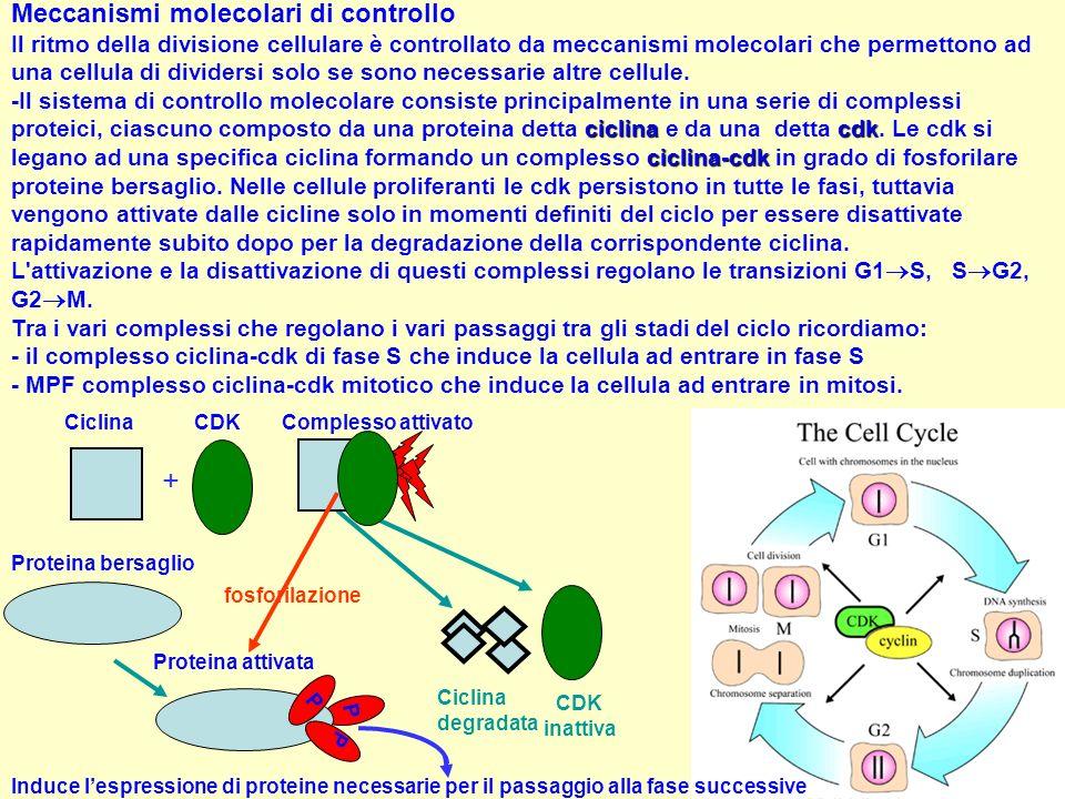 ciclinacdk ciclina-cdk Meccanismi molecolari di controllo Il ritmo della divisione cellulare è controllato da meccanismi molecolari che permettono ad