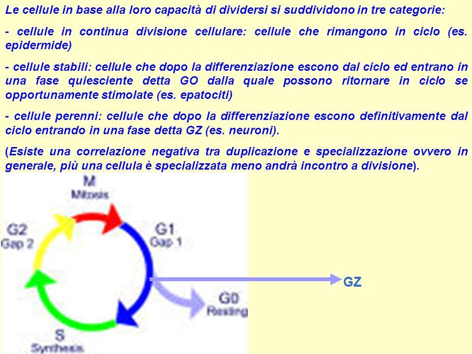 Le cellule in base alla loro capacità di dividersi si suddividono in tre categorie: - cellule in continua divisione cellulare: cellule che rimangono i
