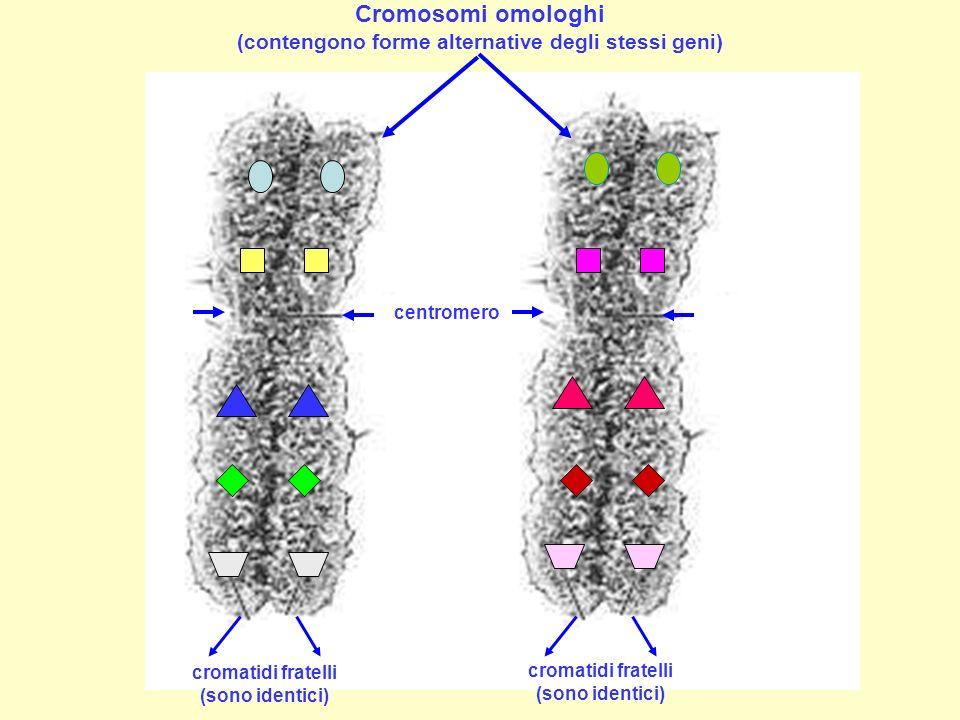 Cromosomi omologhi (contengono forme alternative degli stessi geni) cromatidi fratelli (sono identici) centromero
