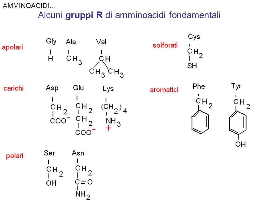 Alcuni gruppi R di amminoacidi fondamentali AMMINOACIDI…