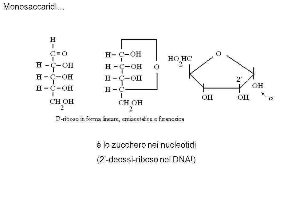 Monosaccaridi… è lo zucchero nei nucleotidi (2-deossi-riboso nel DNA!) 2