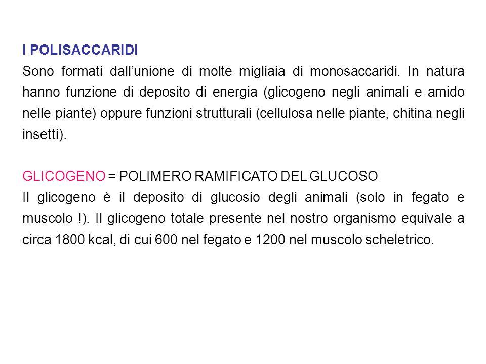 I POLISACCARIDI Sono formati dallunione di molte migliaia di monosaccaridi. In natura hanno funzione di deposito di energia (glicogeno negli animali e