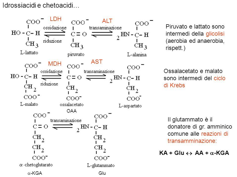 Idrossiacidi e chetoacidi… Piruvato e lattato sono intermedi della glicolisi (aerobia ed anaerobia, rispett.) Ossalacetato e malato sono intermedi del