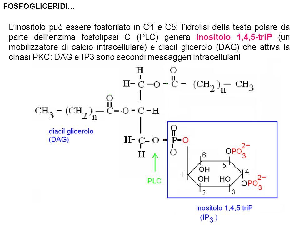 Linositolo può essere fosforilato in C4 e C5: lidrolisi della testa polare da parte dellenzima fosfolipasi C (PLC) genera inositolo 1,4,5-triP (un mob