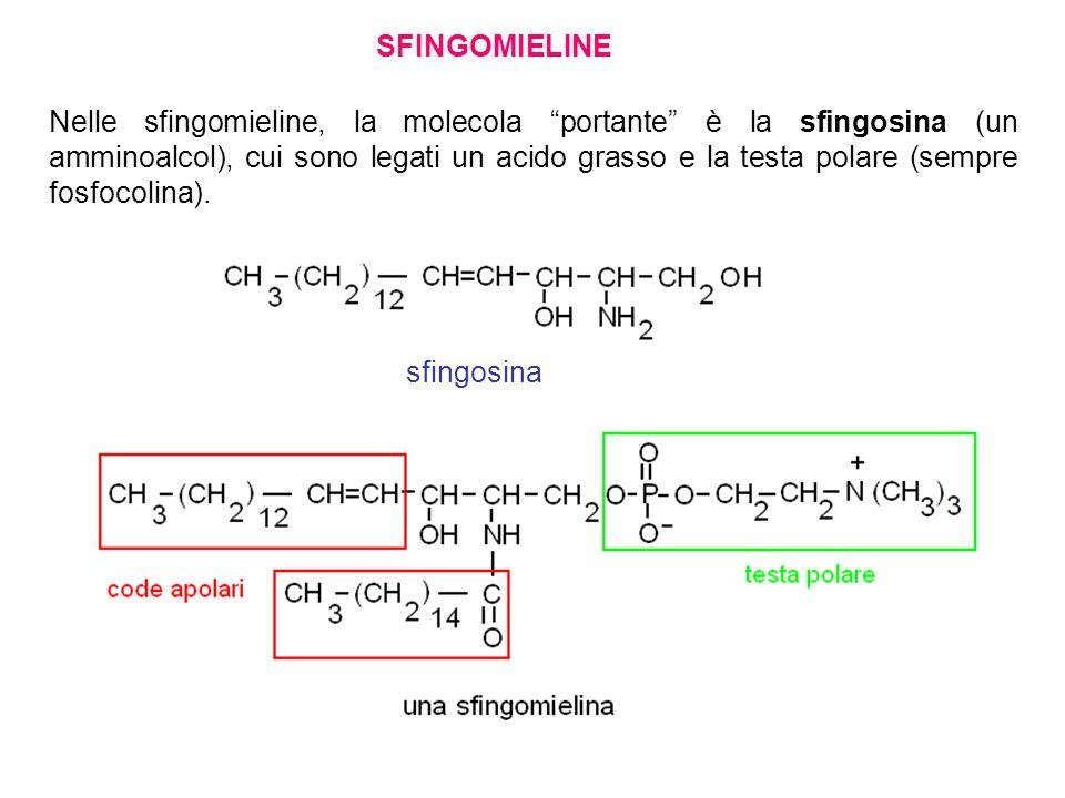 SFINGOMIELINE Nelle sfingomieline, la molecola portante è la sfingosina (un amminoalcol), cui sono legati un acido grasso e la testa polare (sempre fo