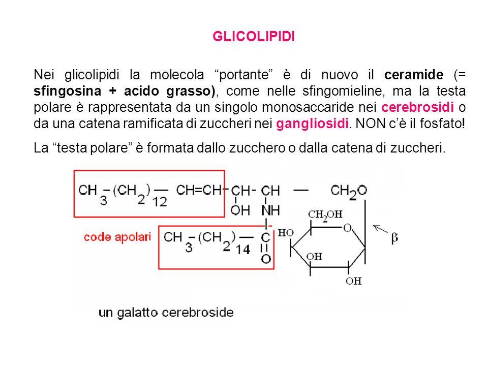 GLICOLIPIDI Nei glicolipidi la molecola portante è di nuovo il ceramide (= sfingosina + acido grasso), come nelle sfingomieline, ma la testa polare è