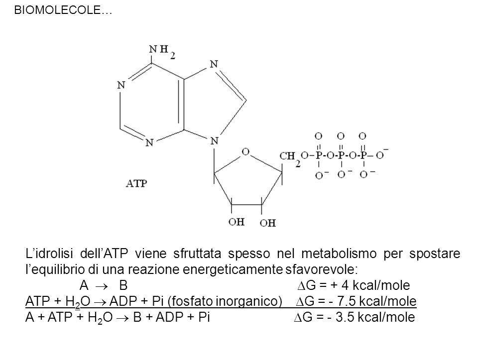 Lidrolisi dellATP viene sfruttata spesso nel metabolismo per spostare lequilibrio di una reazione energeticamente sfavorevole: A B G = + 4 kcal/mole A