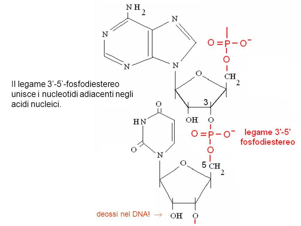 Il legame 3-5-fosfodiestereo unisce i nucleotidi adiacenti negli acidi nucleici. deossi nel DNA!