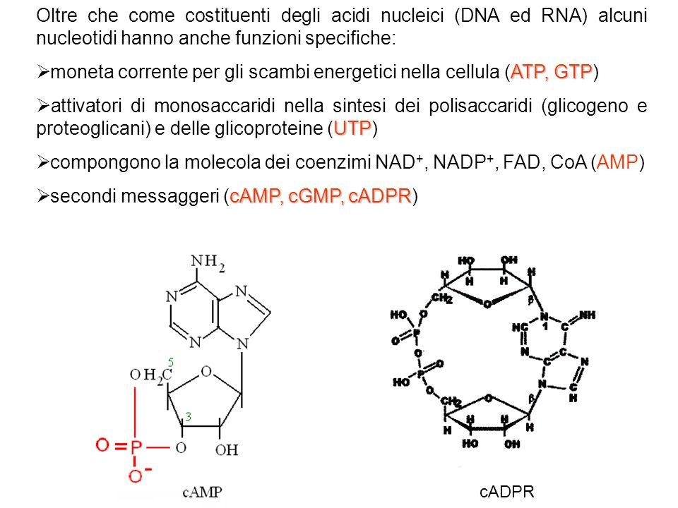 Oltre che come costituenti degli acidi nucleici (DNA ed RNA) alcuni nucleotidi hanno anche funzioni specifiche: ATP, GTP moneta corrente per gli scamb