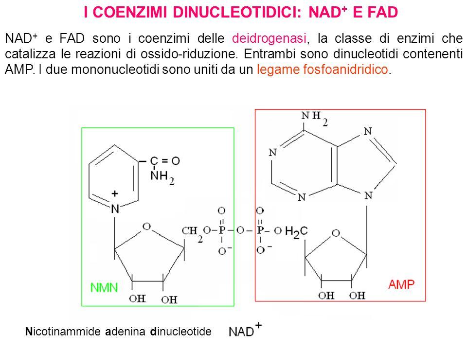 I COENZIMI DINUCLEOTIDICI: NAD + E FAD NAD + e FAD sono i coenzimi delle deidrogenasi, la classe di enzimi che catalizza le reazioni di ossido-riduzio