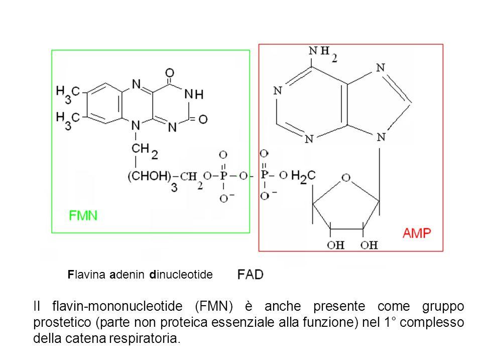 Il flavin-mononucleotide (FMN) è anche presente come gruppo prostetico (parte non proteica essenziale alla funzione) nel 1° complesso della catena res