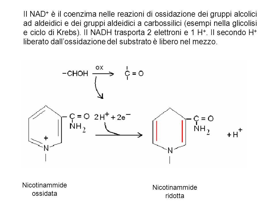 Il NAD + è il coenzima nelle reazioni di ossidazione dei gruppi alcolici ad aldeidici e dei gruppi aldeidici a carbossilici (esempi nella glicolisi e