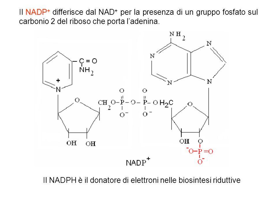 NADP + Il NADP + differisce dal NAD + per la presenza di un gruppo fosfato sul carbonio 2 del riboso che porta ladenina. Il NADPH è il donatore di ele