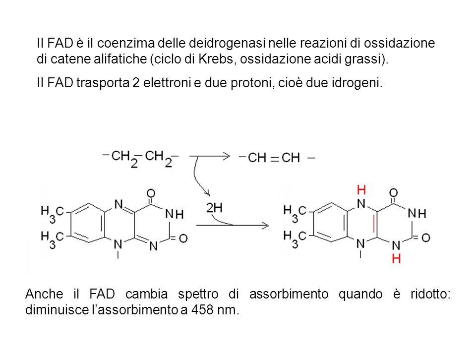 Il FAD è il coenzima delle deidrogenasi nelle reazioni di ossidazione di catene alifatiche (ciclo di Krebs, ossidazione acidi grassi). Il FAD trasport