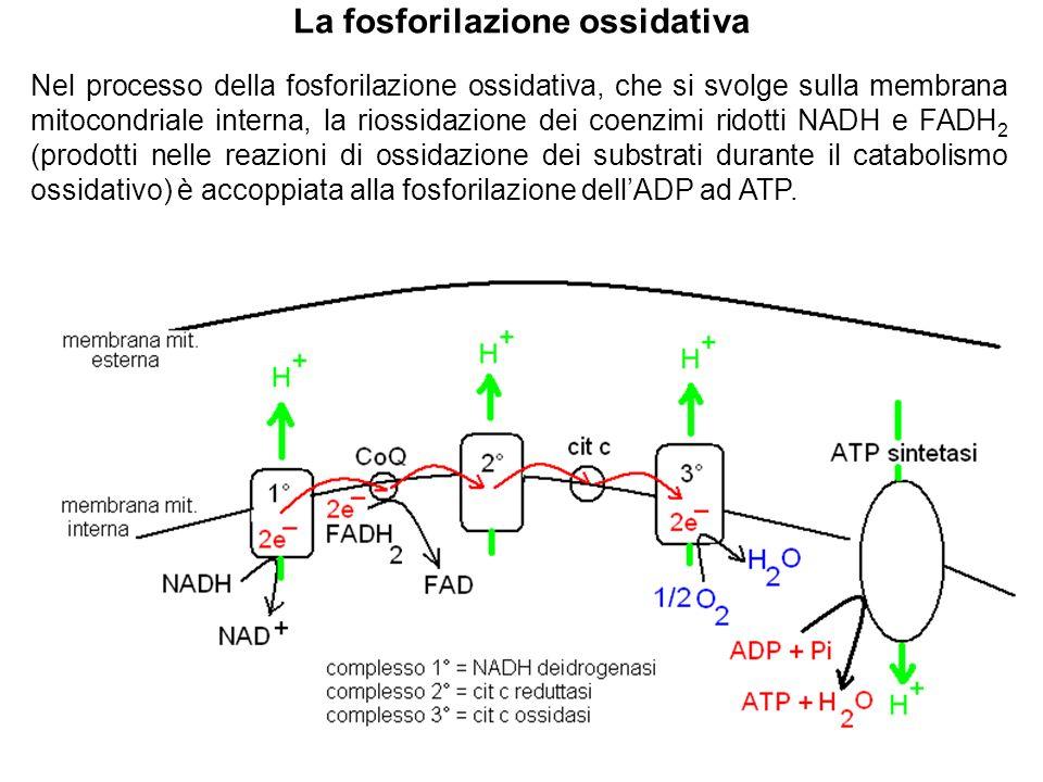 La fosforilazione ossidativa Nel processo della fosforilazione ossidativa, che si svolge sulla membrana mitocondriale interna, la riossidazione dei co
