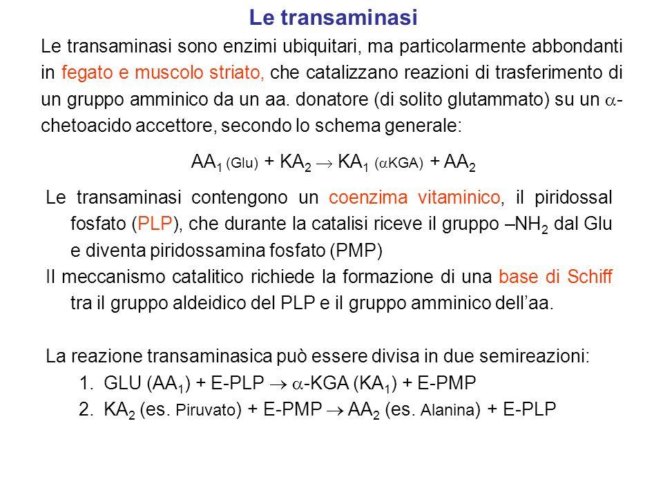 Semireazione 1: il gruppo amminico del Glu è trasferito sul coenzima PLP e si libera -chetoglutarato (il primo prodotto di reazione).