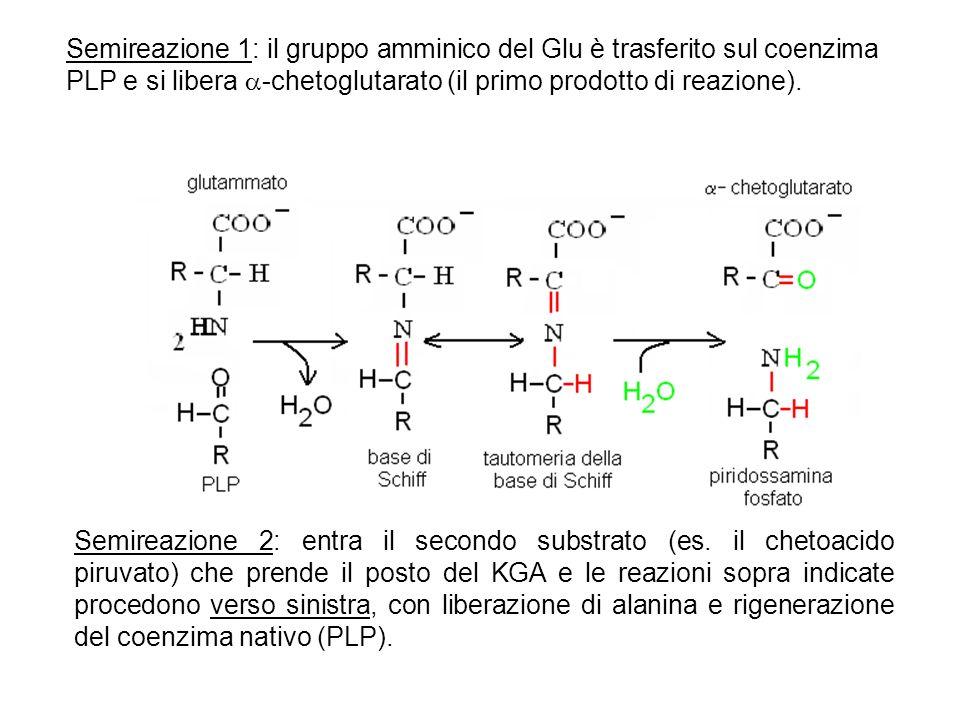 Semireazione 1: il gruppo amminico del Glu è trasferito sul coenzima PLP e si libera -chetoglutarato (il primo prodotto di reazione). Semireazione 2: