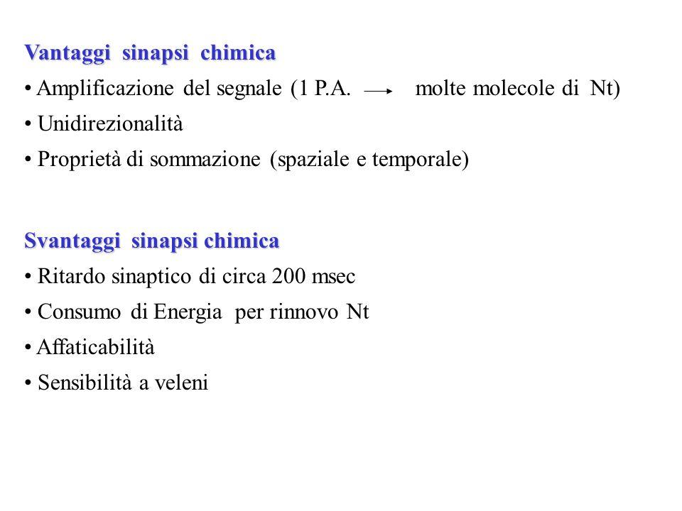 Vantaggi sinapsi chimica Amplificazione del segnale (1 P.A. molte molecole di Nt) Unidirezionalità Proprietà di sommazione (spaziale e temporale) Svan