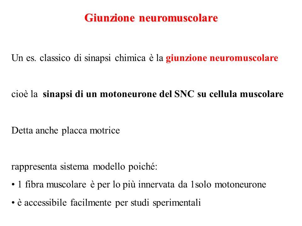 Giunzione neuromuscolare Un es. classico di sinapsi chimica è la giunzione neuromuscolare cioè la sinapsi di un motoneurone del SNC su cellula muscola