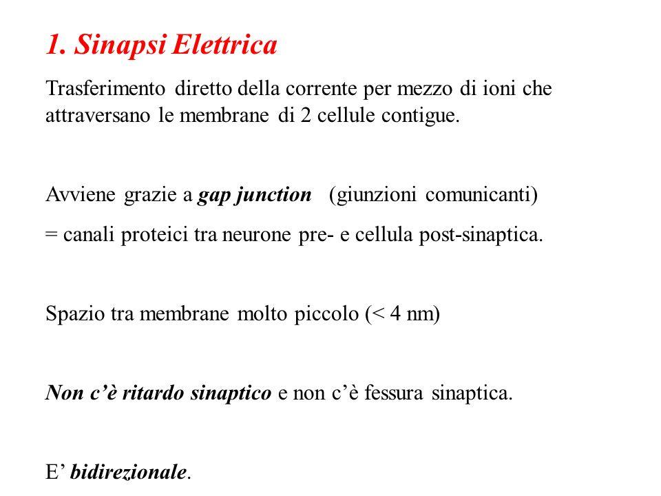 1. Sinapsi Elettrica Trasferimento diretto della corrente per mezzo di ioni che attraversano le membrane di 2 cellule contigue. Avviene grazie a gap j