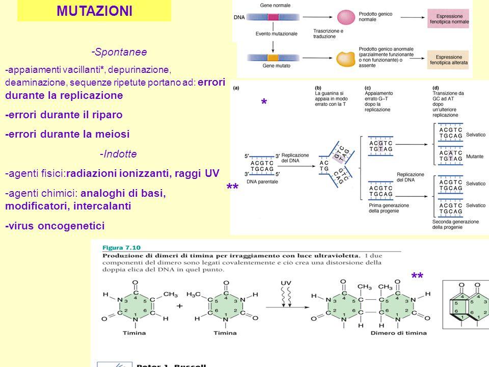 - Spontanee -appaiamenti vacillanti*, depurinazione, deaminazione, sequenze ripetute portano ad: errori durante la replicazione -errori durante il rip