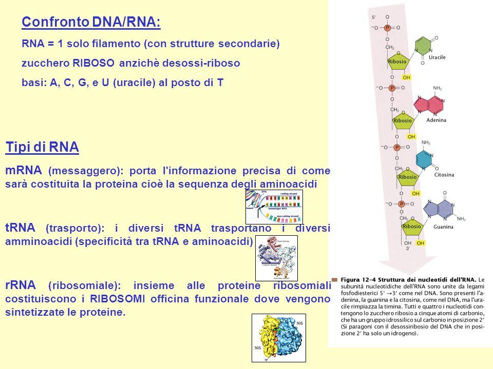 Confronto DNA/RNA: RNA = 1 solo filamento (con strutture secondarie) zucchero RIBOSO anzichè desossi-riboso basi: A, C, G, e U (uracile) al posto di T