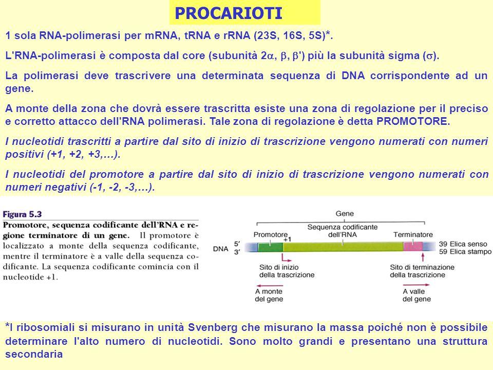1 sola RNA-polimerasi per mRNA, tRNA e rRNA (23S, 16S, 5S) *. L'RNA-polimerasi è composta dal core (subunità 2,, ') più la subunità sigma ( ). La poli