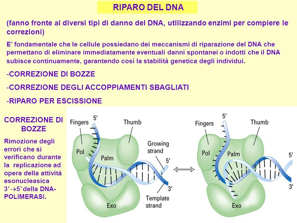 I NucleolorRNA 28S, 18S, 5.8S II NucleohnRNA (RNA immaturi) mRNA alcuni snRNA (piccoli RNA nucleari) III Nucleo tRNA rRNA 5S alcuni snRNA RNA polimerasi I, II, III RNA polimerasi Localizzazione Prodotti Sia in PROCARIOTI che in EUCARIOTI molte polimerasi si legano in sequenza al DNA per cui molti filamenti di RNA vengono trascritti dallo stesso gene in breve tempo