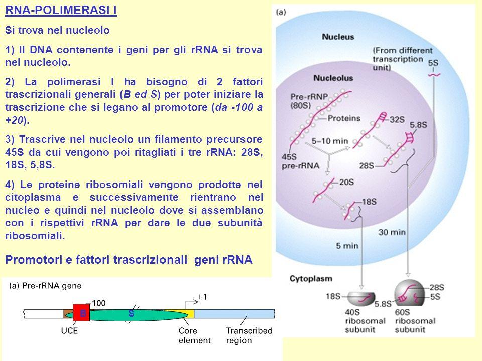 RNA-POLIMERASI I Si trova nel nucleolo 1) Il DNA contenente i geni per gli rRNA si trova nel nucleolo. 2) La polimerasi I ha bisogno di 2 fattori tras