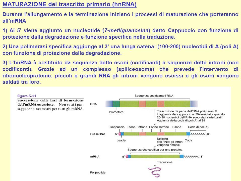 MATURAZIONE del trascritto primario (hnRNA) Durante lallungamento e la terminazione iniziano i processi di maturazione che porteranno allmRNA 1) Al 5'