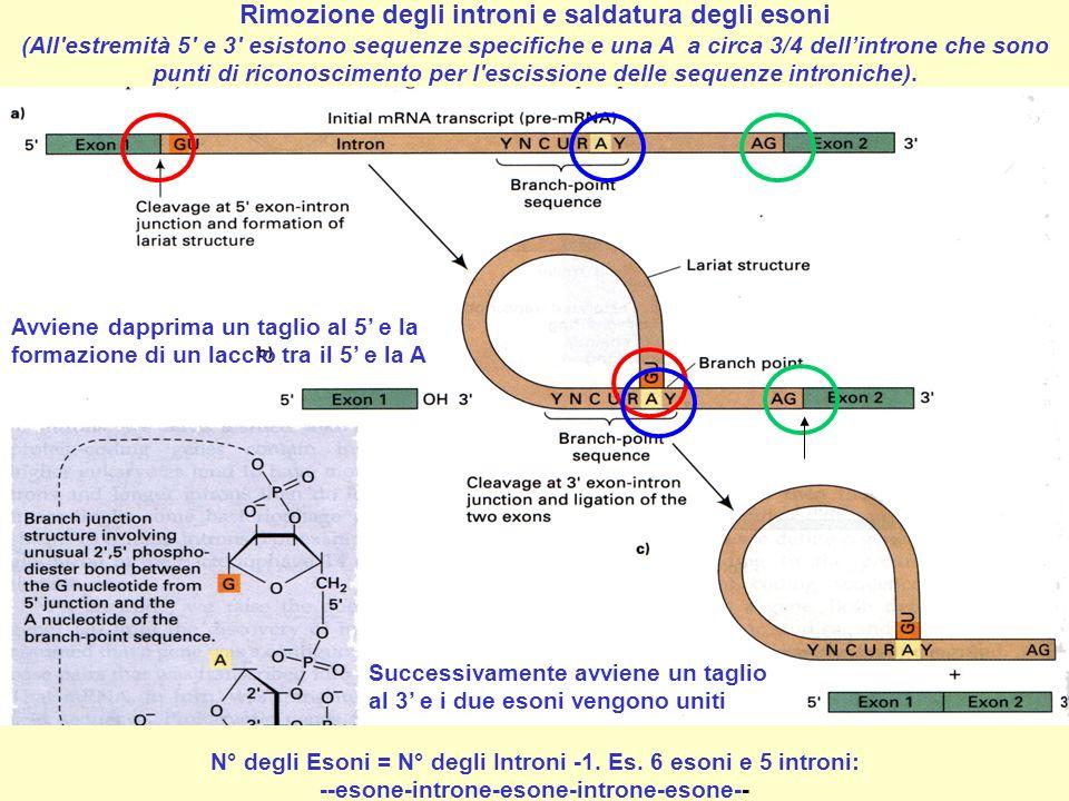 Rimozione degli introni e saldatura degli esoni (All'estremità 5' e 3' esistono sequenze specifiche e una A a circa 3/4 dellintrone che sono punti di