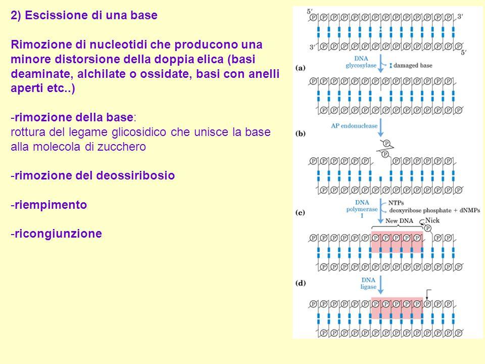 2) Escissione di una base Rimozione di nucleotidi che producono una minore distorsione della doppia elica (basi deaminate, alchilate o ossidate, basi