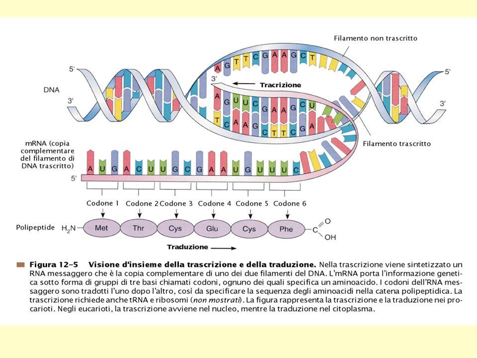 TRASCRIZIONE Il DNA funziona da stampo per la sintesi di molecole di RNA.