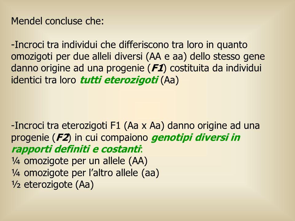 Mendel concluse che: -Incroci tra individui che differiscono tra loro in quanto omozigoti per due alleli diversi (AA e aa) dello stesso gene danno ori