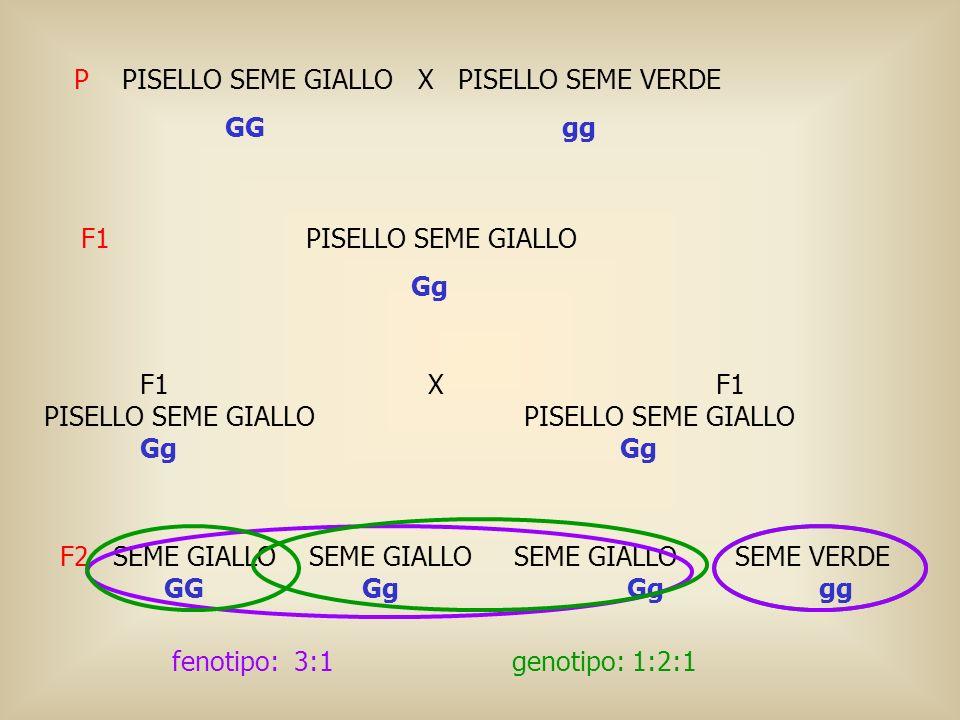 P PISELLO SEME GIALLO X PISELLO SEME VERDE GG gg F1 PISELLO SEME GIALLO Gg F1 XF1PISELLO SEME GIALLOGg F2 SEME GIALLO SEME GIALLO SEME GIALLO SEME VER