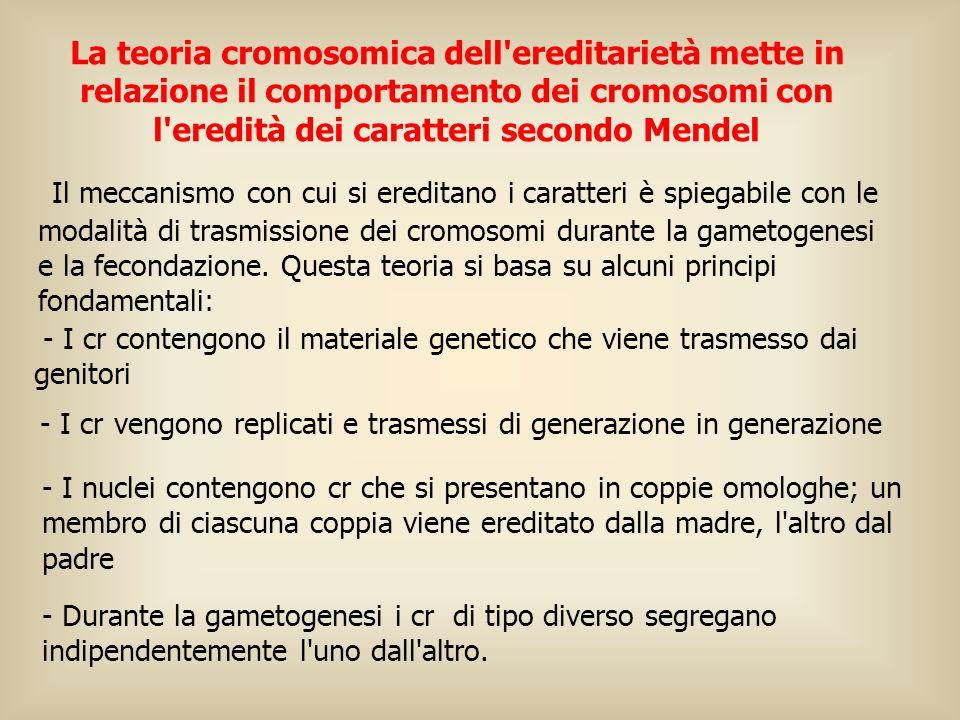 Il meccanismo con cui si ereditano i caratteri è spiegabile con le modalità di trasmissione dei cromosomi durante la gametogenesi e la fecondazione. Q