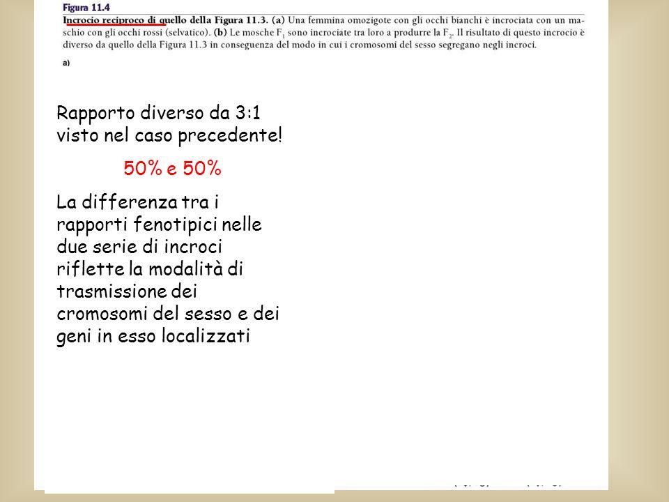 Rapporto diverso da 3:1 visto nel caso precedente! 50% e 50% La differenza tra i rapporti fenotipici nelle due serie di incroci riflette la modalità d