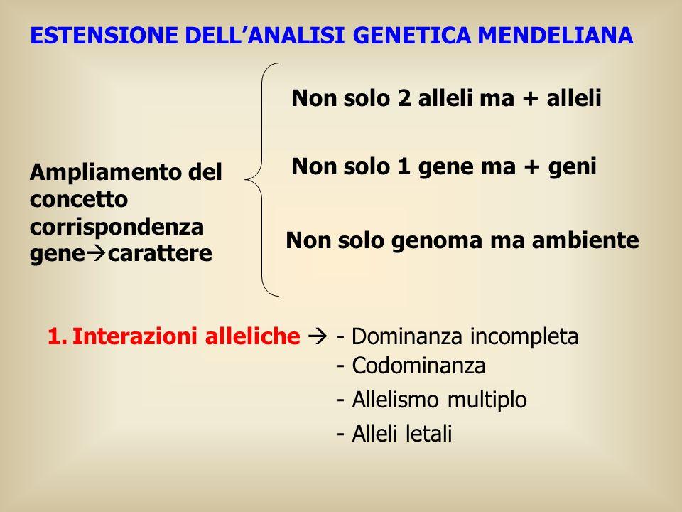ESTENSIONE DELLANALISI GENETICA MENDELIANA Ampliamento del concetto corrispondenza gene carattere Non solo 2 alleli ma + alleli Non solo 1 gene ma + g