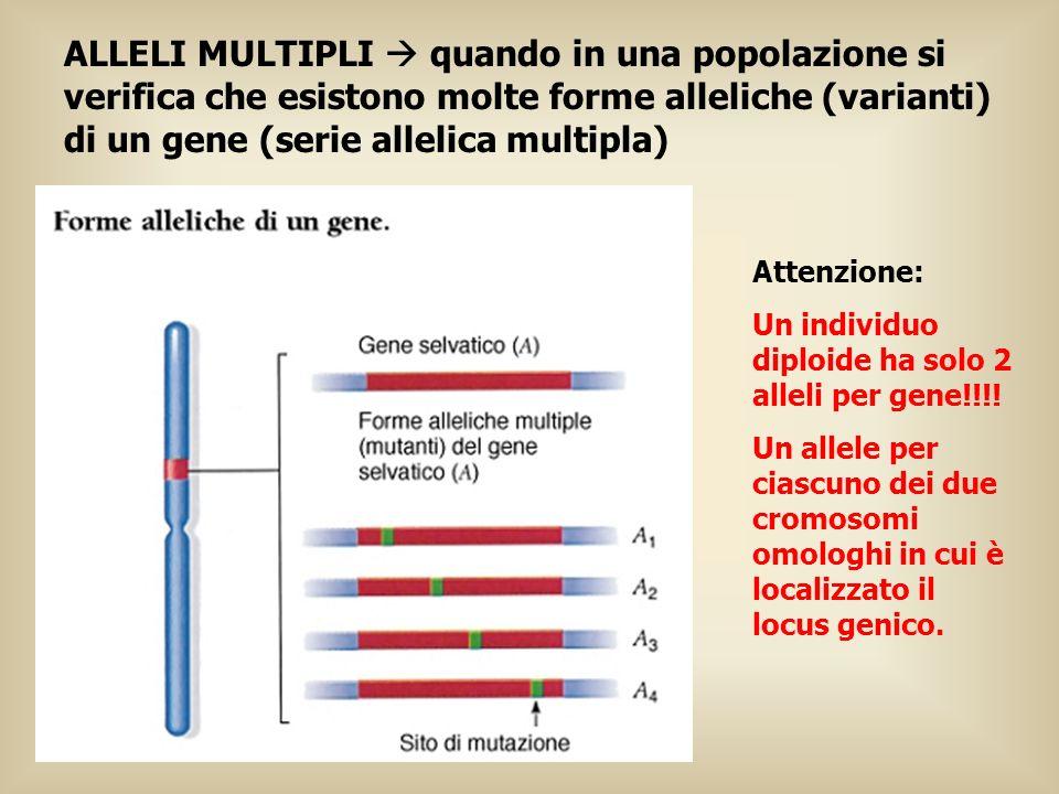 ALLELI MULTIPLI quando in una popolazione si verifica che esistono molte forme alleliche (varianti) di un gene (serie allelica multipla) Attenzione: U
