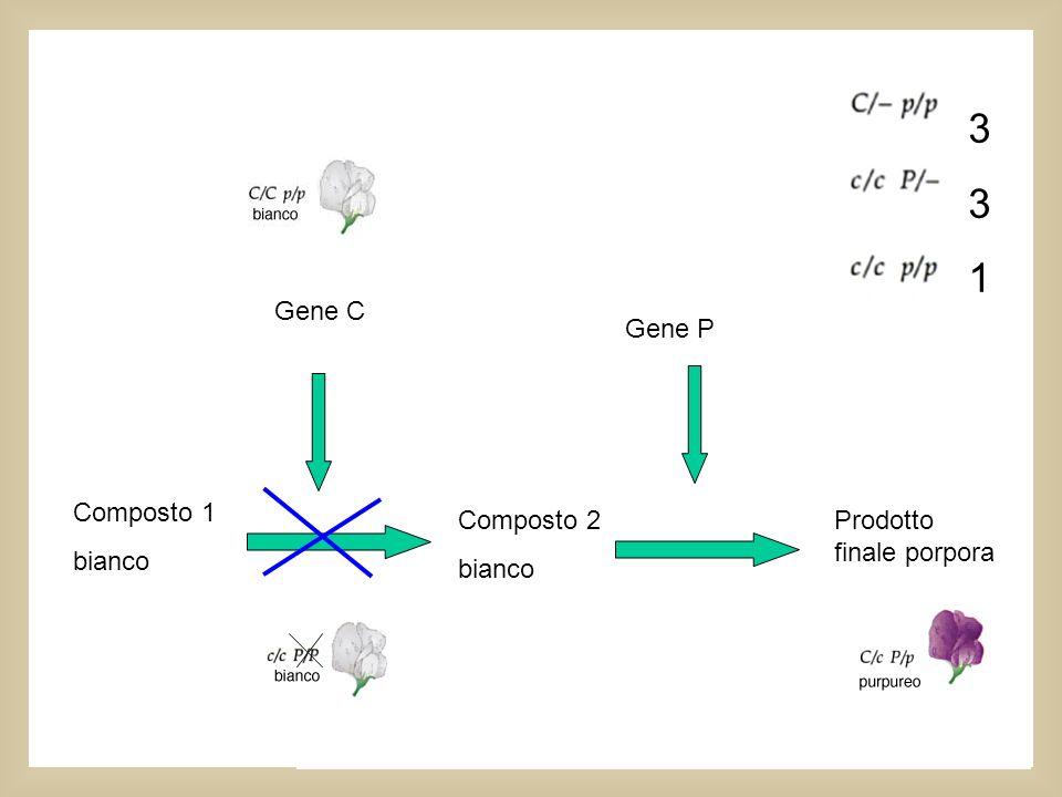 Questa interazione tra geni da il fenotipo bianco ogni volta che luna o laltra coppia allelica è omozigote recessiva 9:7 Composto 1 bianco Composto 2