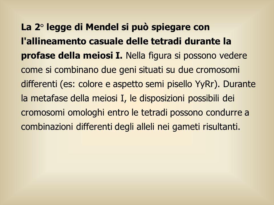 La 2° legge di Mendel si può spiegare con l'allineamento casuale delle tetradi durante la profase della meiosi I. Nella figura si possono vedere come