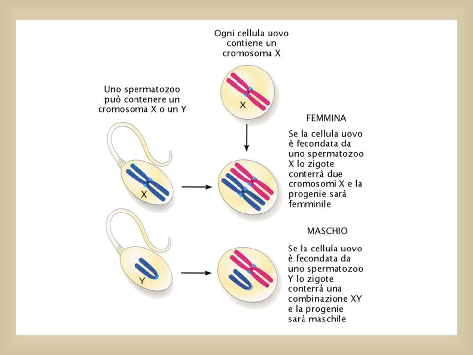 Cromosomi sessuali Negli Eucarioti un cromosoma del sesso è un cromosoma presente in forme diverse nei due sessi. Uno è un cromosoma