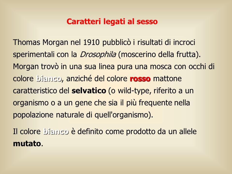 Caratteri legati al sesso biancorosso Thomas Morgan nel 1910 pubblicò i risultati di incroci sperimentali con la Drosophila (moscerino della frutta).