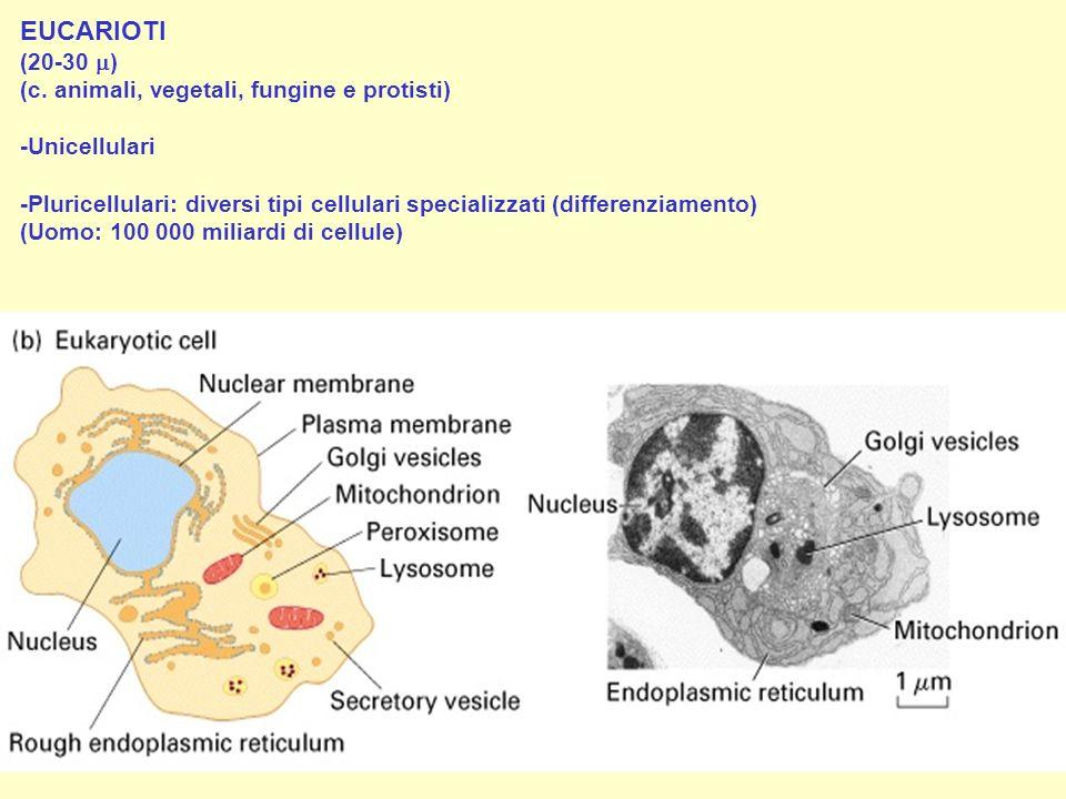 EUCARIOTI (20-30 ) (c. animali, vegetali, fungine e protisti) -Unicellulari -Pluricellulari: diversi tipi cellulari specializzati (differenziamento) (