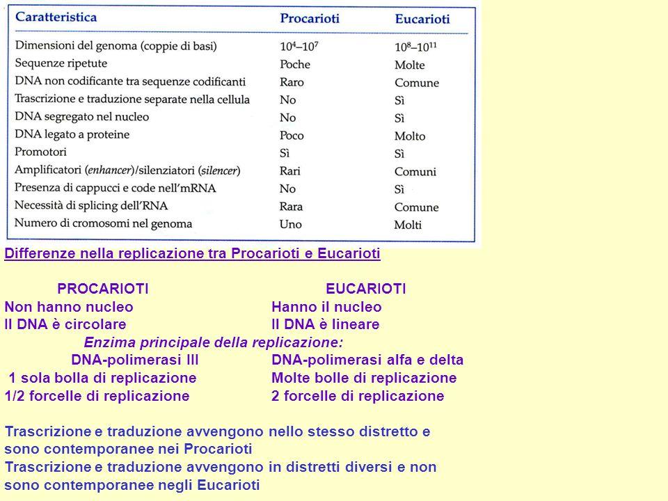 Differenze nella replicazione tra Procarioti e Eucarioti PROCARIOTI EUCARIOTI Non hanno nucleo Hanno il nucleo Il DNA è circolare Il DNA è lineare Enz