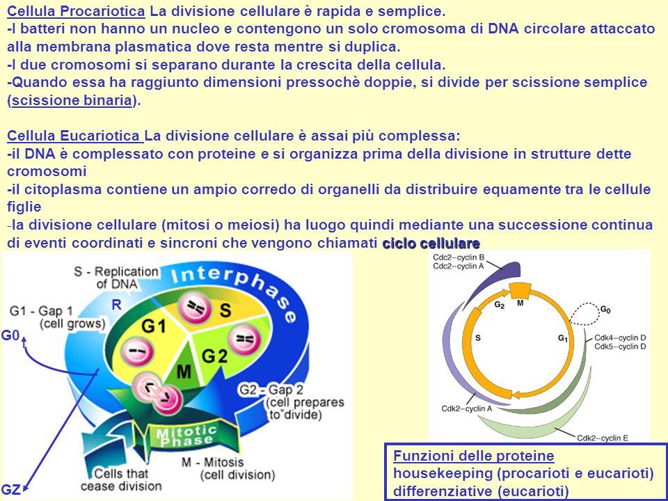 Cellula Procariotica La divisione cellulare è rapida e semplice.